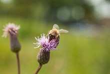 Bee On A Pink Flower Field Thi...