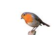 canvas print picture - Der Gartenvogel Rotkehlchen freigestellt in neter Pose auf Ast sitzend