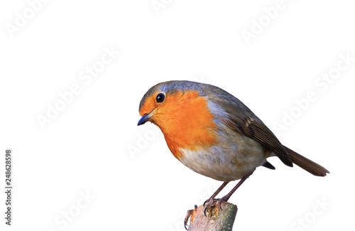 Der Gartenvogel Rotkehlchen freigestellt in neter Pose auf Ast sitzend