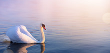 White Swan In The Spring Lake