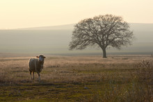 One Sheep On Field