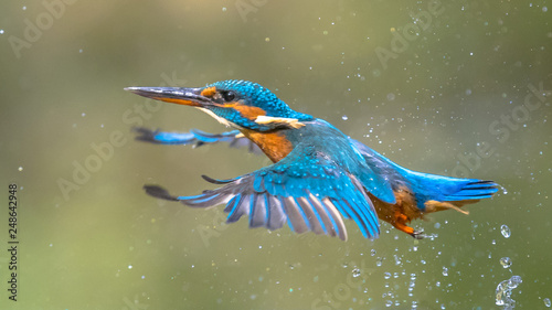 Foto Common European Kingfisher Flying