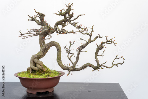 Chaenomeles bonsai tree on a wooden table againt white wall in Baihuatan public park, Chengdu, Sichuan province, China