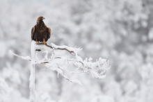 Golden Eagle Bird In Snow Covered Winter Forest