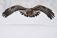 Golden Eagle Bird In Snow Cove...