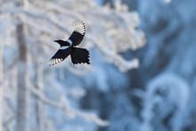Magpie Bird Flying In Sky
