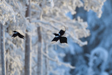 Magpie Fly In Winter Forest With Snow