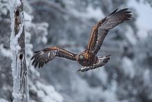 Golden Eagle Flying In Sky