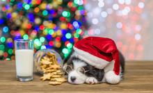 Australian Shepherd Puppy In Red Santa Hat And Eyeglasses Sleeping Near Cookies And Glasses Of A Milk With Christmas Tree On Background