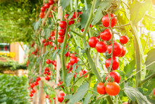 Fresh Ripe Red Tomatoes Plant Growth In Organic Garden Ready To Harvest