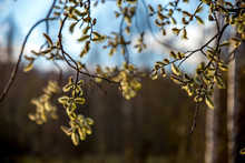 Nature Background With Pussy Willow Branches.
