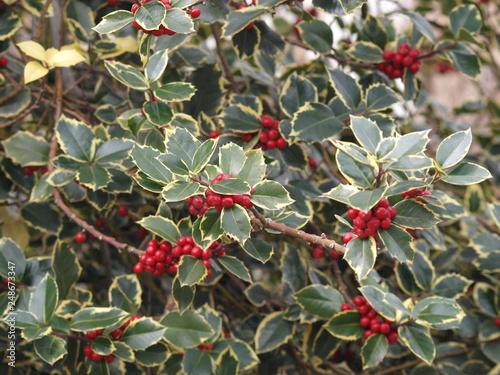 Fotografia  Ilex aquifolium 'aureomarginata' - Rameaux de houx commun à feuilles panachées d