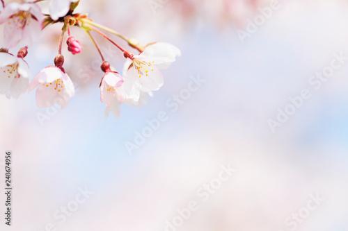 Keuken foto achterwand Kersenbloesem ソメイヨシノ
