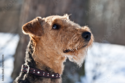 Photo Dog  breed Airedale Terrier  with snowy muzzle outdoors