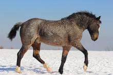 American Curly Horse Breeding ...