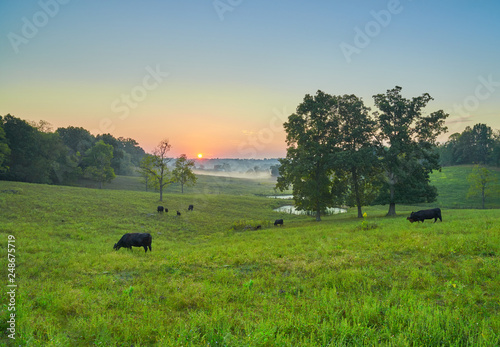 Cows Grazing at Sunrise Fototapet