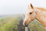 Fototapeta Konie - Horse looks over fence in morning fog.