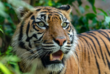 Sumatra Tiger Portrait Close Up While Looking At You