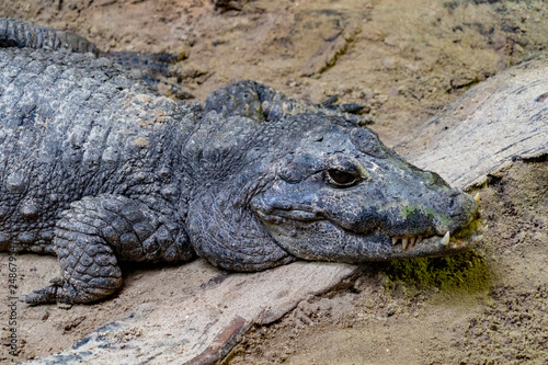 Photo  big enourmous crocodile after lunch