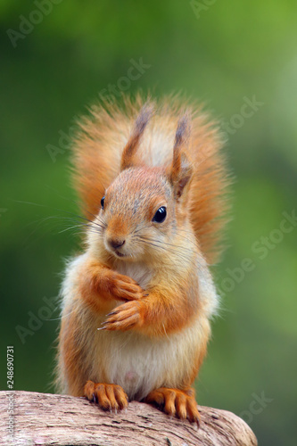 Foto op Canvas Eekhoorn The red squirrel or Eurasian red sguirrel (Sciurus vulgaris) sitting in the scandinavian forest. Squirrel in a typical environment.