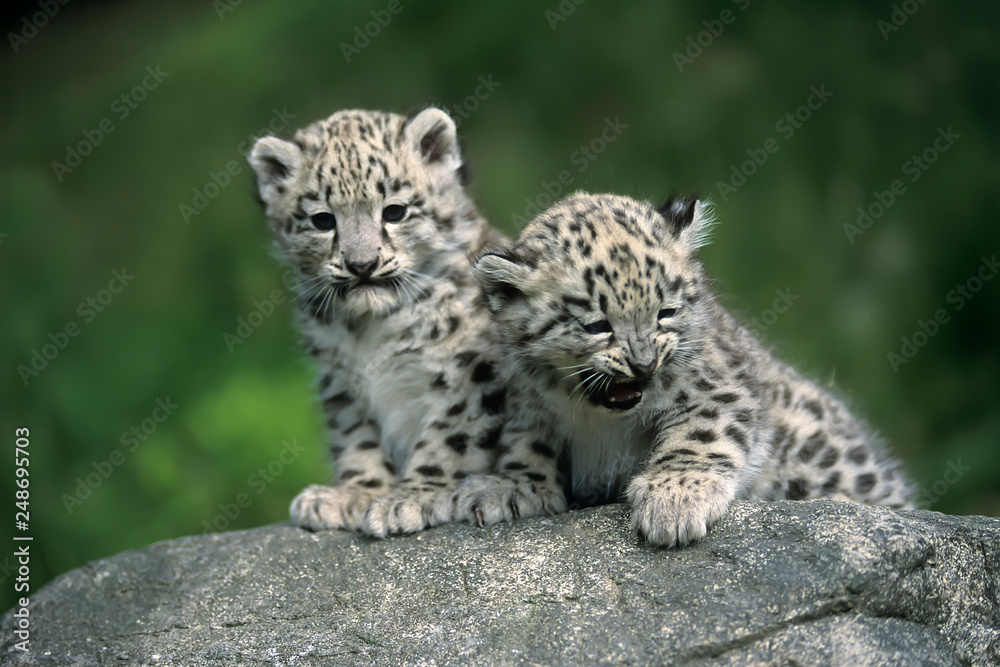 Fototapeta Snow Leopard (Uncia uncia)