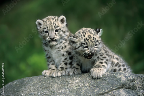Snow Leopard (Uncia uncia) Fototapete