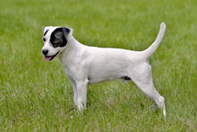 Parson Russell Terrier In The Spring Garden