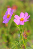 Fototapeta Kosmos - Beautiful pink cosmos flower in green background