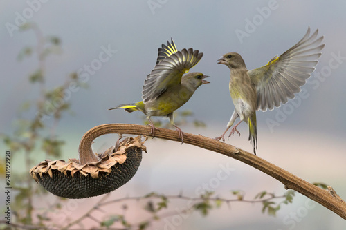 Fotografie, Obraz  Verdoni comuni in lotta per un seme di girasole (Chloris chloris)