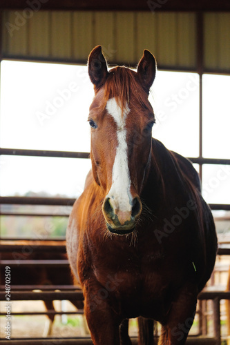 Brown horse on farm shows equine head looking at camera for western style animal portrait.