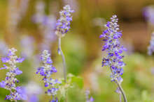 Blue Salvia Flower (salvia Farinacea Benth) Or Mealy Cap Sage Flower In The Garden