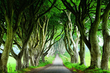 Majestic Dark Hedges Of Northern Ireland. View Down Road Through Tunnel Of Trees.