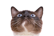 Closeup Portrait Brown Snowshoe Siamese Cat Siting And Looking Up. Isolated On White