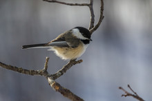 Black-capped Chickadee During The Winter