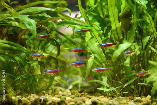 In de dag Macrofotografie Paracheirodon axelrodi, red neon, aquarium flock.