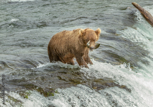 Closeup photo of a an Alaskan grizzly bear with a salmon fish in its mouth standing on top of a waterfall at Brooks Falls, Alaska, USA.