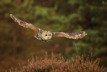 Flying Eurasian Tawny Owl, Strix Aluco, With Forest In The Background.