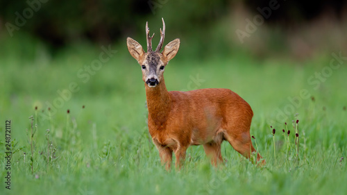 Foto op Plexiglas Ree Roe deer, capreolus capreolus, buck on green meadow in summer. Male wild animal in nature. Wildlife scenery with space for copy.