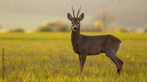 Foto op Plexiglas Ree Roe deer, capreolus capreolus, buck in spring time at sunset. Backlit wild deer in nature with copy space.
