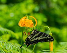 Swallowtail Butterfly On A Tiger Lily Wildflower