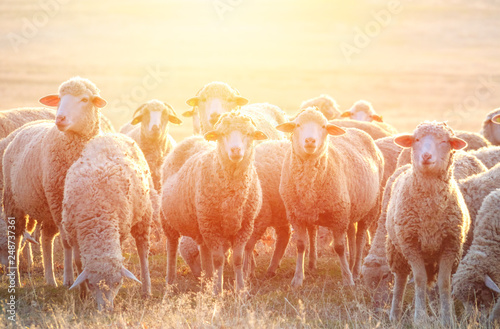 Papiers peints Sheep Flock of sheep at sunset