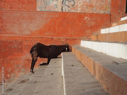 chèvre dans les escalier Canvas-taulu