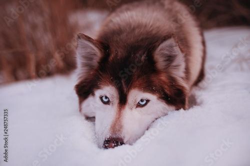Śmieszna twarz siberian husky z winnym spojrzeniem