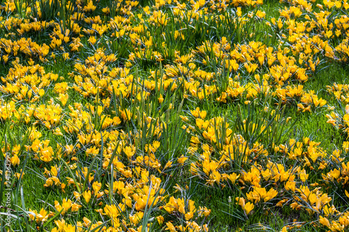 Field Covered in Cheerful Yellow Crocus Flowers in Amsterdam, Netherlands