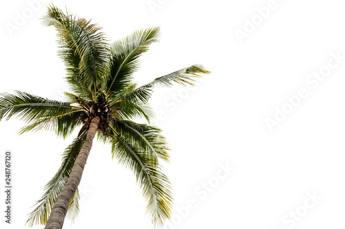 Cadres-photo bureau Palmier Photos of high angle coconut palm trees isolated on white background. - image