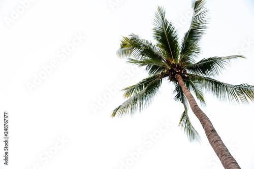 Foto auf Leinwand Palms Photos of high angle coconut palm trees isolated on white background. - image