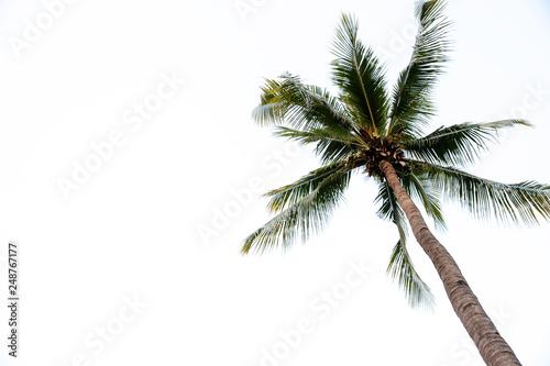 Foto auf AluDibond Palms Photos of high angle coconut palm trees isolated on white background. - image