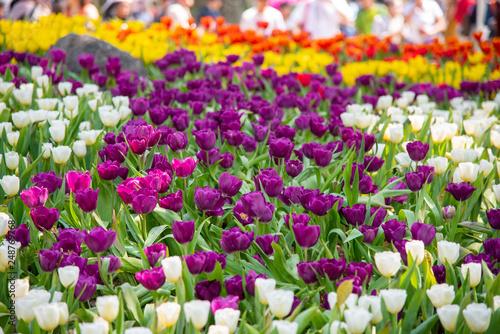 Deurstickers Pansies blooming tulips.