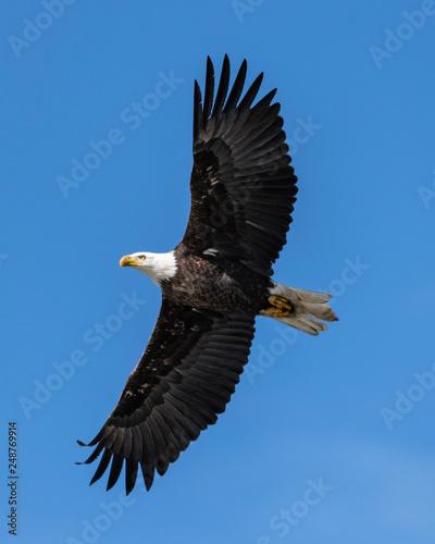 In de dag Eagle Bald Eagle in Flight