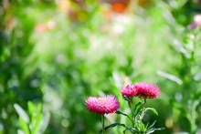 Close-up Of Everlasting Flower...